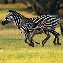 20160609120225-cebras.jpg