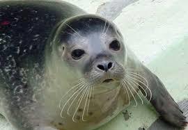 20160609123609-foca-monje.png